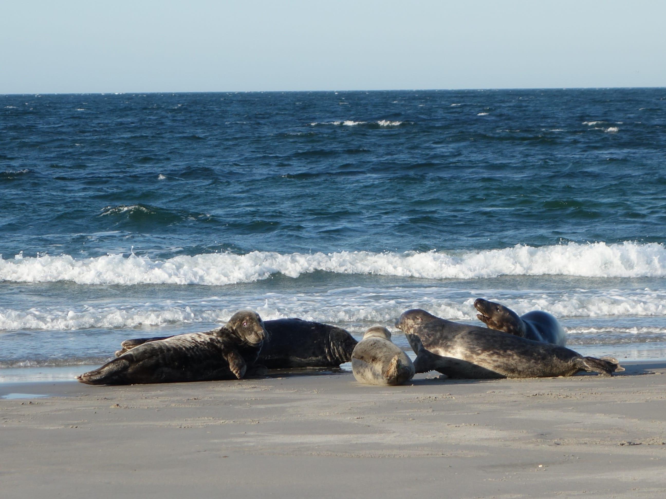 Wilde Seehunde auf Sylt beobachten | Freizeit Nordsee Hotel Easy